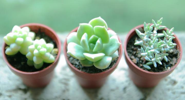 小さくて可愛い観葉植物3選