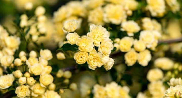 棘のないバラ、モッコウバラの花言葉