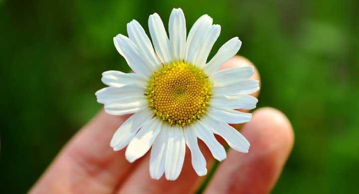 恋占いの花マーガレットの花言葉