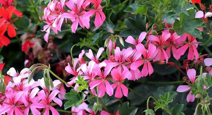 長期間花を咲かせるゼラニウムの花言葉