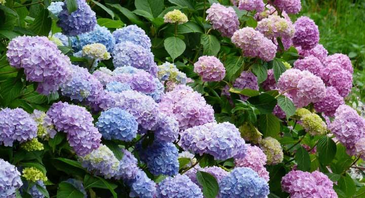 梅雨の代名詞アジサイの花言葉