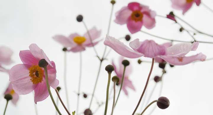 秋の花、初めてのガーデニングでも育てやすい草花10選