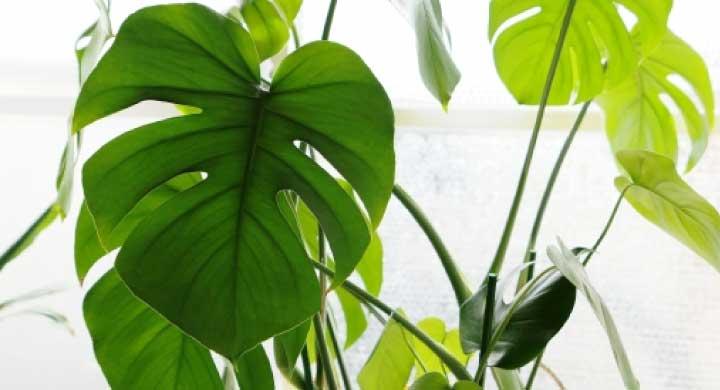 観葉植物として人気の高い『モンステラの育て方』