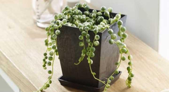 吊るして飾れるグリーンネックレスの育て方