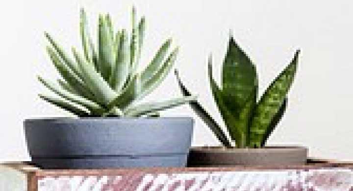 乾燥に強い観葉植物『サンスベリアの育て方』