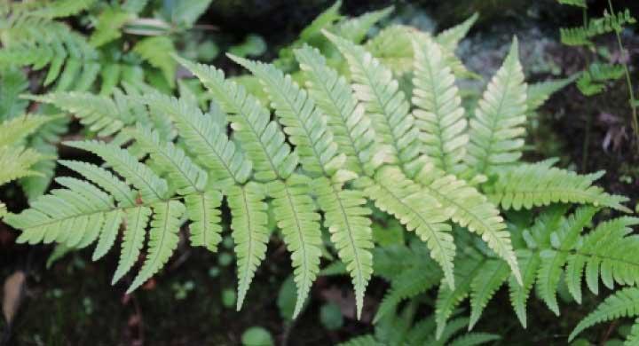 たくさんの種類がある『シダ系植物の育て方』