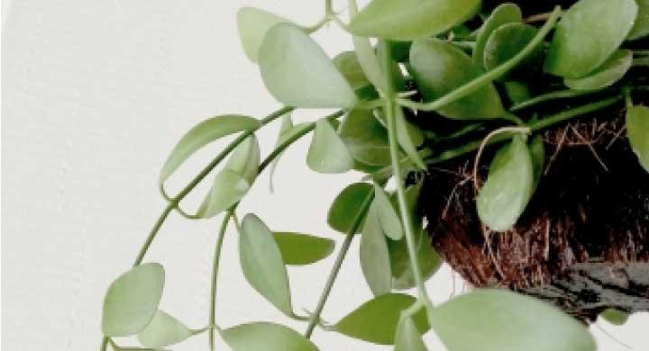 ぷっくりとした丸い葉が可愛らしい『ディスキディアの育て方』