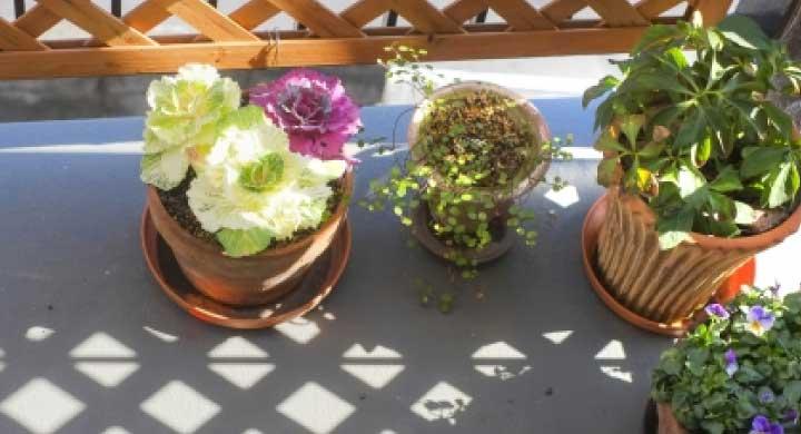 初心者にオススメのベランダガーデニングの花
