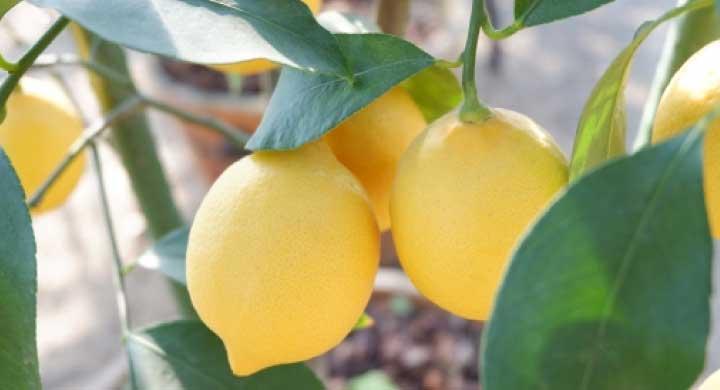 鉢植えレモン室内での育て方