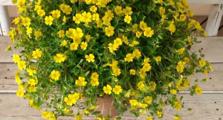 夏の暑さでも開花が止まらない『メカルドニアの育て方』