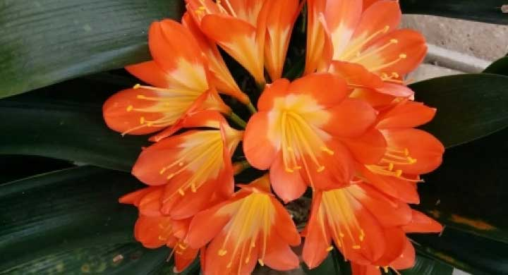 花と葉が一緒に楽しむことができる『君子蘭の育て方』