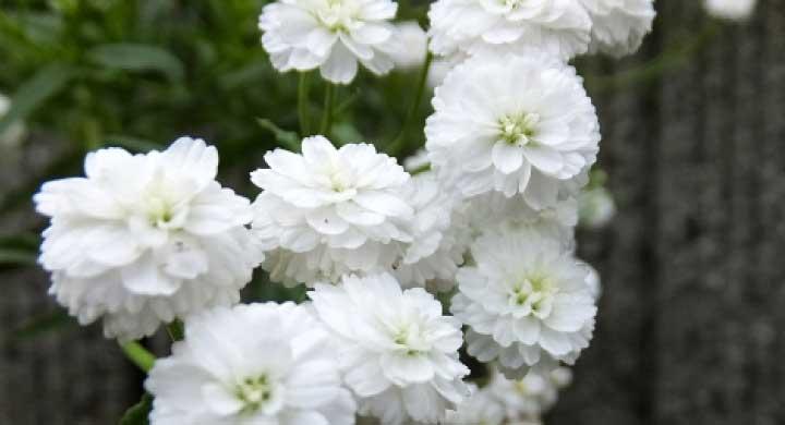 カーネーションのような花を咲かせる『シレネの育て方』