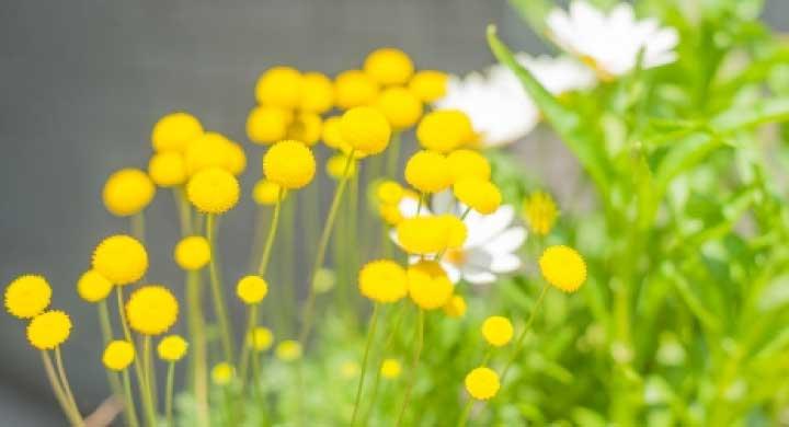 花言葉がせつない『花ほたる苗の育て方』