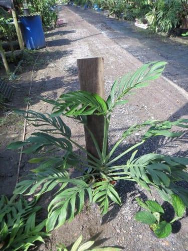 珍しい植物を求めて タイへ その4 蔓(カズラ)