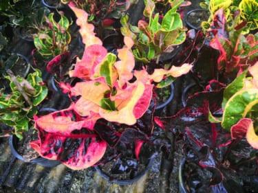 珍しい植物を求めてタイへ その6 酷暑を楽しむ Part2